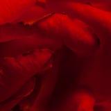 Le rouge a monté Image stock