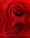 Le rouge a monté avec des gouttelettes d'eau Photo stock
