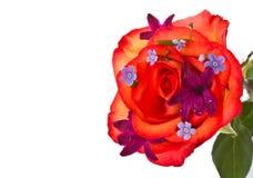 Le rouge a monté avec la jacinthe de fleurs Photo stock