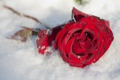 Le rouge a monté dans la neige Photographie stock
