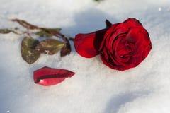 Le rouge a monté dans la neige Photos stock