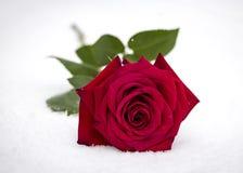 Le rouge a monté dans la neige Photos libres de droits
