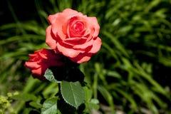 Le rouge a monté dans un jardin Photo stock