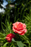 Le rouge a monté dans un jardin Photo libre de droits