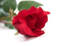 Le rouge a monté en fleur Photo stock