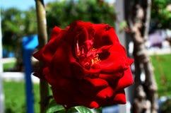 Le rouge a monté Fleur de l'amour Photos stock