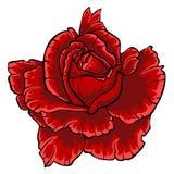 Le rouge a monté Fleur sur le fond blanc Photo stock