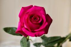 Le rouge a monté Le rose a monté image stock
