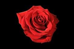 Le rouge a monté sur le fond noir Image libre de droits