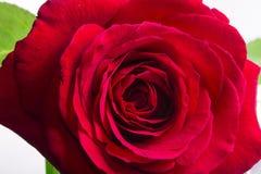 Le rouge a monté sur un fond blanc Image stock