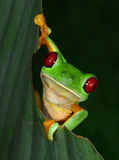 Le rouge a observé la grenouille d'arbre sur la feuille verte, tarcoles, puntarenas, ri de côte Photographie stock libre de droits