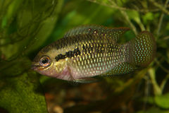 Le rouge pointille le cichlid (le dorsigera de Laetacara) Photo stock