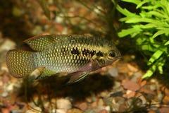 Le rouge pointille le cichlid (le dorsigera de Laetacara) Photo libre de droits