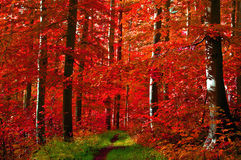 Le rouge quitte la forêt Image stock