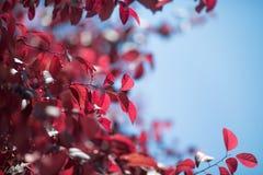 Le rouge sain part sur un fond bleu saturé Beaux pruniers colorés Feuillage avec du charme d'automne en parc ensoleillé léger photos libres de droits