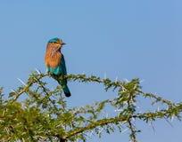 Le rouleau indien était perché sur un arbre de Shailendra, examinant les environs Photographie stock libre de droits