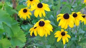 Le rudbeckia jaune est un genre des usines herbacées annuelles, bisannuelles, et éternelles de la famille d'Astrovye banque de vidéos