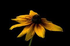 Le Rudbeckia jaune fleurit le plan rapproché photos libres de droits