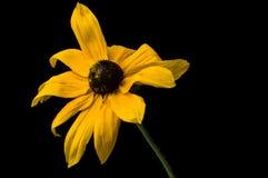 Le Rudbeckia jaune fleurit le plan rapproché photo stock