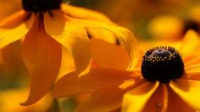 Le rudbeckia ou le noir jaune lumineux a observé des fleurs de Susan dans le jardin clips vidéos