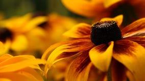 Le rudbeckia ou le noir jaune lumineux a observé des fleurs de Susan dans le jardin banque de vidéos