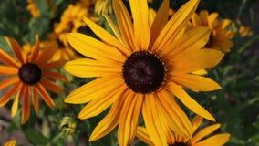 Le rudbeckia ou le noir jaune a observé des fleurs de Susan dans le jardin banque de vidéos