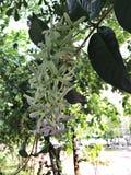 Le sépale des volubilis de Petrea ou la vigne de papier sablé ou guirlande la guirlande ou du ` pourpre s de reine ou kohautiana  photo libre de droits