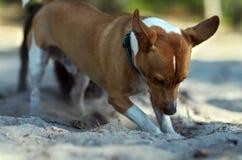 Le ` s de chien creuse des trous du sable image libre de droits