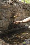 Le ` s de femme remet l'eau de cueillette d'un bec de fontaine Image libre de droits