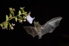 Le ` s de Pallas Long-a réprimandé la batte - soricina de Glossophaga photographie stock libre de droits