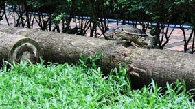 Le ` s de salvator de Varanus sautent sur le bois de construction images libres de droits