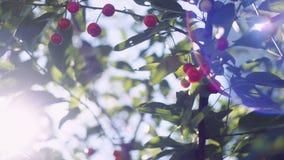 Le ` s de Sun rayonne traverser les feuilles d'un arbre de fleurs de cerisier clips vidéos