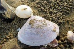 Le sable a couvert le coquillage Images libres de droits