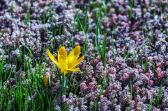 Le safran (crocus) attire des abeilles au nectar et au pollen de rassemblement Photo stock