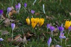 Le safran fleurit au printemps Photos libres de droits
