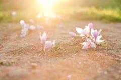 Le safran fleurit au soleil Photographie stock libre de droits