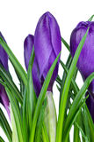 le safran fleurit la violette photographie stock libre de droits