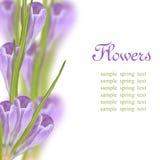 Le safran fleurit le cadre Photographie stock libre de droits