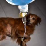 Le salin en sous-cutanée aux chiens Photographie stock libre de droits