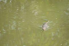 Le salvator de Varanus est des reptiles Photos libres de droits
