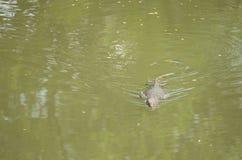 Le salvator de Varanus est des reptiles Photo stock