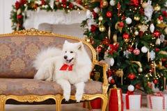 Le Samoyed de chien s'asseyant sur le divan à Noël Photos libres de droits