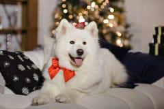 Le Samoyed de chien s'asseyant sur le divan à Noël Photo libre de droits