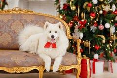 Le Samoyed de chien s'asseyant sur le divan à Noël Images stock
