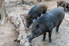 Le sanglier est des espèces du genre le Sus, une partie de porc du Suidae biologique de famille photo libre de droits