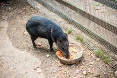 Le sanglier mange de l'alimentation Images libres de droits