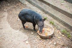 Le sanglier mange de l'alimentation Photographie stock libre de droits