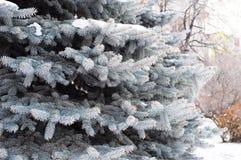Le sapin bleu, sapin blanc avec les pungens scientifiques de picéa de nom, est des espèces d'arbre impeccable en hiver Images libres de droits