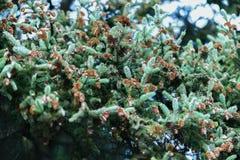Le sapin en gros plan s'embranche avec beaucoup de cônes, hiver Noël, bonne année Fond naturel, couleurs vertes à la mode par Photo stock
