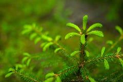 Le sapin ou l'arbre impeccable bourgeonne au printemps le temps Photographie stock libre de droits